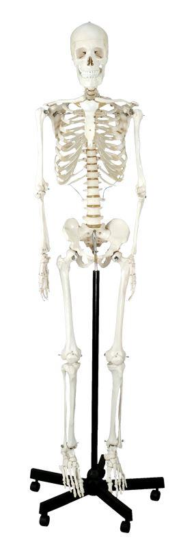 Skelet, standard