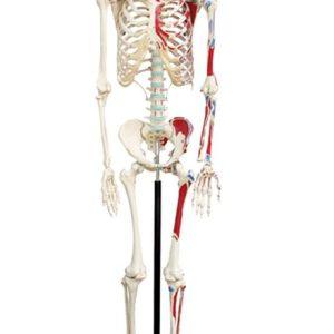 Skelet med muskelvedhæftninger
