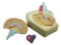 Hjernemodel, 4 dele