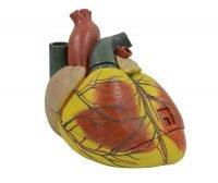 Hjertemodel, stor, 3 dele